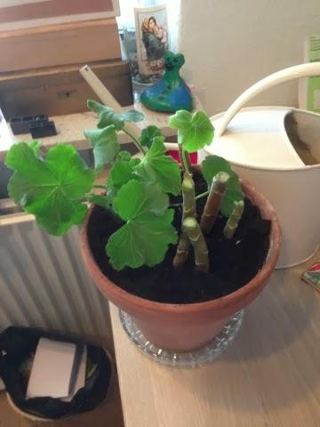 Forårsklare pelargonier
