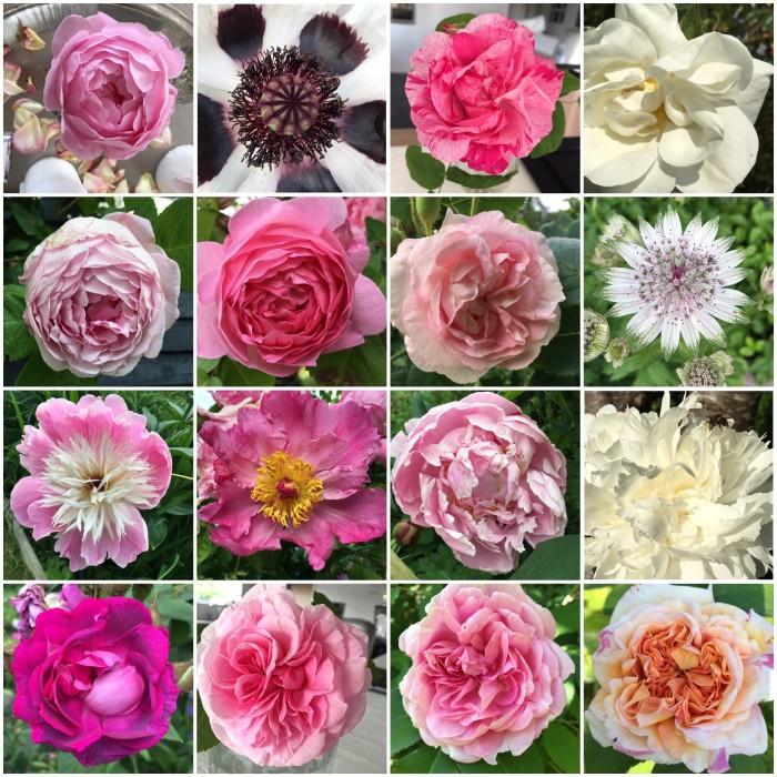 Hjemmeavlede roser