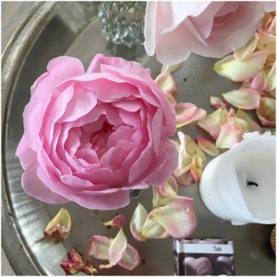 Stiklinge af David Austin rosen, Constance Spry